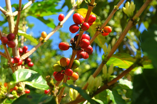 coffee seeds, pic from flickr by marrejos